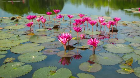 lilie : Video 1080p - Water lilies on a pond. Flowering period. Thailand