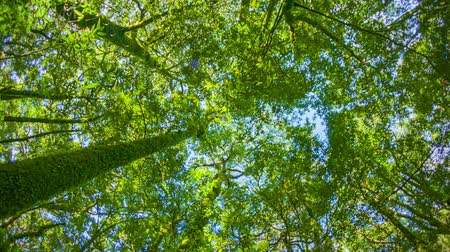 baldachin : Video 1080p - Tropical rainforest. Tops of the trees. Looking up to the canopy