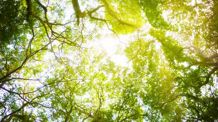 floresta tropical : Video 1080p - Crowns of trees with bright afternoon sun and rays.