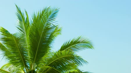 Тропический климат : Video 1080p - Top of the palm tree on blue sky background