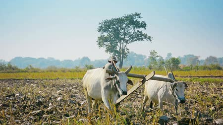 yoksulluk : NAYPYIDAW UNION TERRITORY. BURMA - CIRCA JAN 2013: Traditionally in Burma to work on the fields used cows