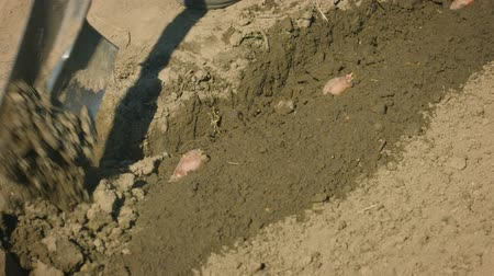 ásta : UHD video - Planting potatoes in a small field. Bury tubers with a spade