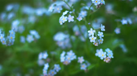 vergeten : UHD video - Blue Vergeet-me bloemen close-up. Ondiepe scherptediepte