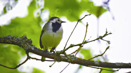 krzak : 1920x1080 video - Wagtail. The bird sits on a branch in the forest