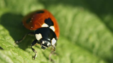 disambiguation : Video FullHD - Ladybird (disambiguation) on green leaf close up Stock Footage