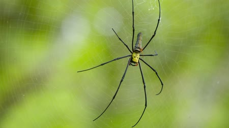orbe : Video 3840x2160 - The largest spider Nephila in its web. Large female and tiny male Stock Footage