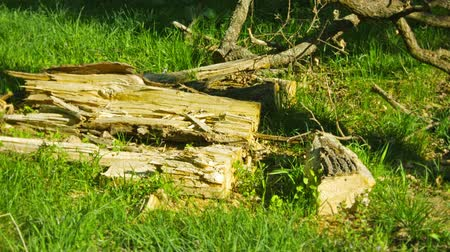 hnijící : Wreckage of wood on the ground in an oak forest