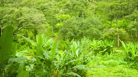 floresta tropical : Tropical forest with bananas shrubs. Thailand. Phuket