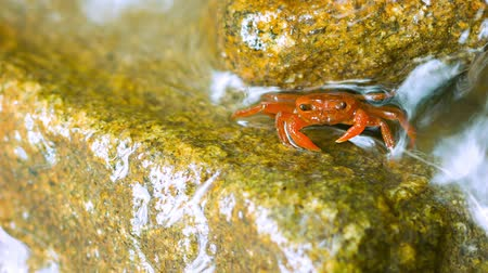 crab of the woods : Semiterrestrial frugivorous waterfall crab (Phricothelphusa limula). Phuket. Thailand Stock Footage