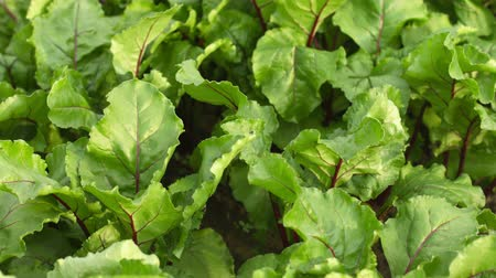 üretmek : Beets in the garden - green leaves swaying in the wind