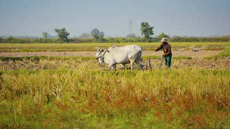 farmer animals : NAYPYIDAW UNION TERRITORY. BURMA - CIRCA JAN 2013: Plowing field using cows - ancient way