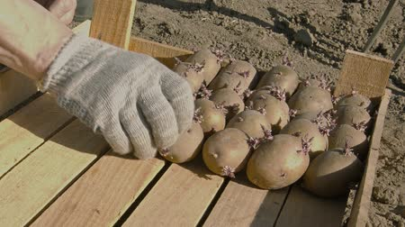 brambory : Video 1080p - Ready for planting in the ground potato tubers Dostupné videozáznamy
