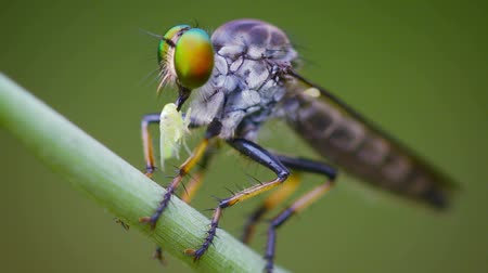 diptera : FullHD video - Asilidae (robber fly) sits on a grass with prey. Thailand
