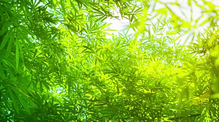 bambusz : 4k video - Slow outward zoom shot of bamboo leaves in sharp contrast to the sky in the background.