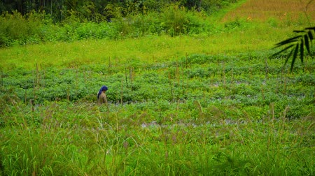 subsistence : CHIANG MAI. THAILAND - CIRCA DEC 2013: Farmer Working in the Fields in Southeast Asia Stock Footage