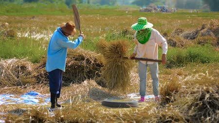 fárasztó : CHIANG RAI. THAILAND - CIRCA DEC 2013: Agricultural Workers Performing Manual Threshing of Harvested Rice to Separate the Grains.