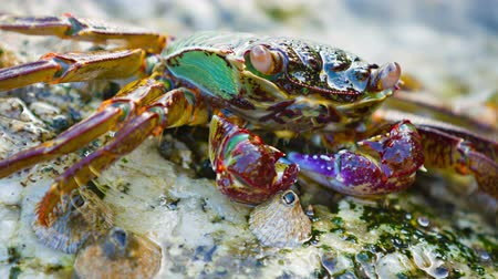 crustáceo : Video 3840x2160 - Closeup shot of a small. colorful crab. resting on a rock as a wave washes over. completely submerging him for a moment.