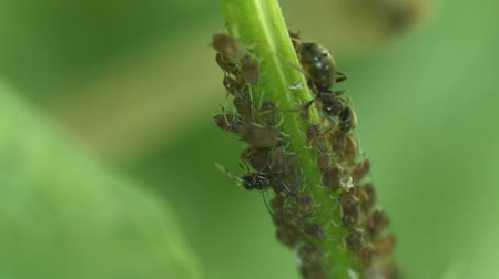 aphidoidea : Video 1920x1080 - Extreme closeup view of aphids. crowded around and a flower stalk. feeding on the fluid inside. as ants and other insects crawl over them. Stock Footage