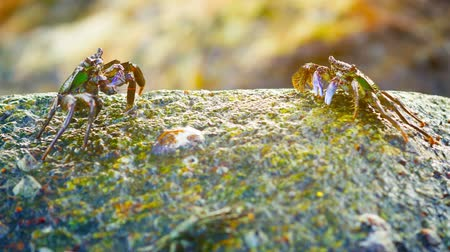 claw feet : FullHD video - Group of small. wild crabs. resting on a surf-splashed rock and grazing and scavenging on bits left by the earlier high tide. Stock Footage
