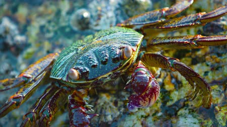 crustáceo : 4k video - Extreme closeup video clip of a small. colorful crab. clinging to a rock and scavenging his dinner from a rock along the waterline at low tide.