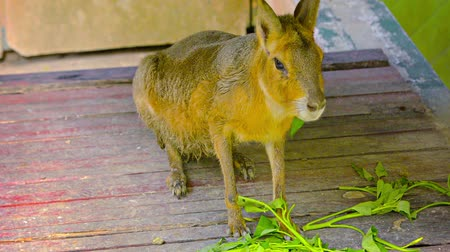 kürklü : FullHD Video - Cute. furry wallaby nibbling at leafy greens in his habitat at Chang Mai Zoo in Thailand. Asia.
