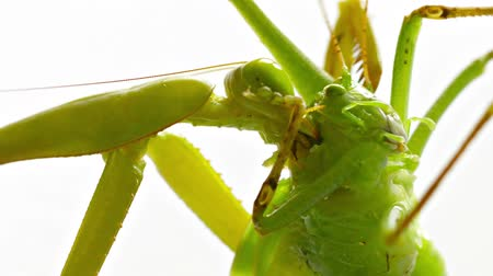 yellowish green : 1920x1080 video - Close-up shot with slow zoom of a praying mantis violently and greedily devouring its latest victim. a big. green. and very unlucky grasshopper.