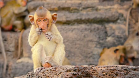 crab eating macaque : 1920x1080 video - Baby Crab Eating Macaque. sitting on a rock and scratching his face before wandering off camera in Phra Prang Sam Yod. Thailand. Stock Footage