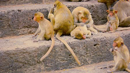 crab eating macaque : Video 1080p - Troop of Crab Eating macaques. sitting on stone steps. grooming and eating as they rest in Phra Prang Sam Yod. Thailand.