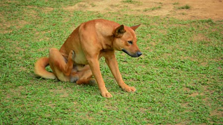hunting dog : Video 1080p - Cute. healthy. stray dog scratching fleas on a patchy lawn near Van Vieng. Laos. in Southeast Asia. Stock Footage