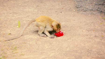 crab eating macaque : Video 1080p - Juvenile Crab Eating Macaque. industriously bites a hole in a plastic bag to sip the juice drink sealed inside. at Phra Prang Sam Yod. Thailand.