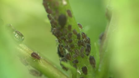 aphidoidea : Video 1080p - Aphids on the stem of a plant Stock Footage