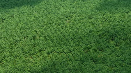 пальмовые деревья : FullHD video  Hundreds of densely planted palm trees on a plantation in Southeast Asia for the production of palm oil. from an aerial perspective.