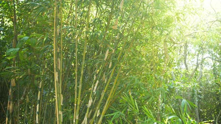 bambusz : UltraHD video - Stands of wild bamboo. as well as other indiginous plants and trees. flutter in a light breeze as rays of golden sunshine beam down from above in this tropical wilderness area. Stock mozgókép