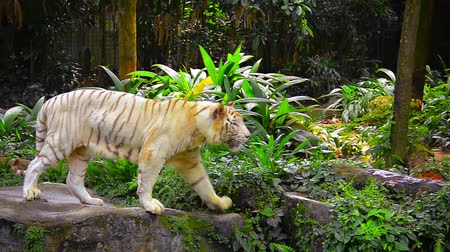 tigris : FullHD video - Male. white tiger. pacing back and forth on the rocks in his enclosure at a zoo. Natural plants and scenery comprise his habitat.