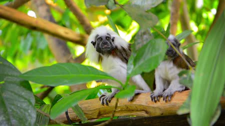 tamarin : Video 1080p  Excessively cute pair of Cotton Top Tamarin Monkeys eating something while sitting on a tree branch in their realistic habitat enclosure at the zoo. Stock Footage