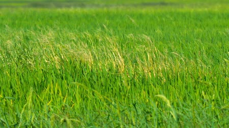 yellowish green : Video FullHD 1920x1080  Stalks and heads of lowland rice. growing in a paddy. swaying gently in a light breeze on a local farm. Stock Footage