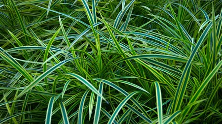 paisagístico : UltraHD video  Long. linear. bicolor leaves of an ornamental grass cultivar. planted in a beautifully maintained garden. Stock Footage
