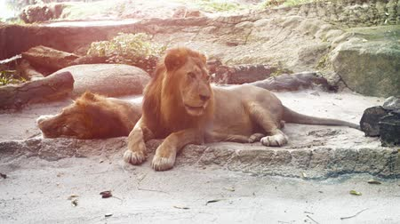 regal : Video 4k  Two big. male lions. lie in the shade as one watches passersby from his habitat enclosure at a zoo. Stock Footage