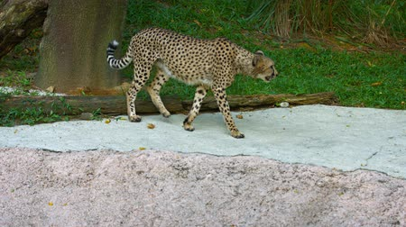 állatkert : Video 2160p  Solitary cheetah. strolls casually through its habitat enclosure at a zoo. until a sound distracts him and makes her nervous.