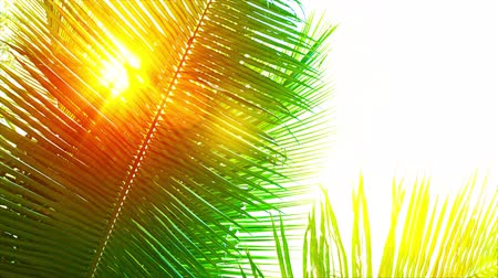 parlayan : UltraHD video  Rays of golden sunshine. beaming between the swaying fronds of a palm tree on a breezy afternoon.