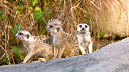 adorable : FullHD video  Colony of curious. playful meerkats. gathered on a large. gray rock. in their habitat enclosure at a popular zoo.