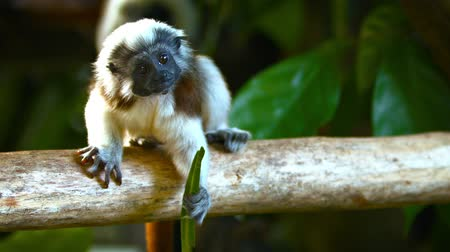 tamarin : Video 1080p  Adorable. Cotton Top Tamarin monkeys. balancing on a branch in their habitat enclosure at a popular zoo. Stock Footage