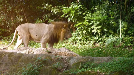 csúcs : Video 2160p - Solitary. male lion passes over the rocks in his habitat enclosure at a zoo. with natural trees and plants in the background.