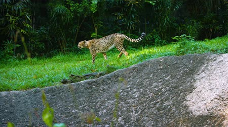 gepard : Video 4k - Lone cheetah. with its typical spotted pattern. strolling proudly through a grassy area in his habitat enclosure at a popular zoo. Wideo
