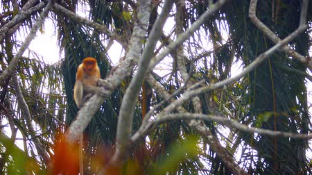 majom : Solitary. wild proboscis monkey. with his big nose and long tail. sitting on a tree branch in Malaysia and observing from a safe distance.