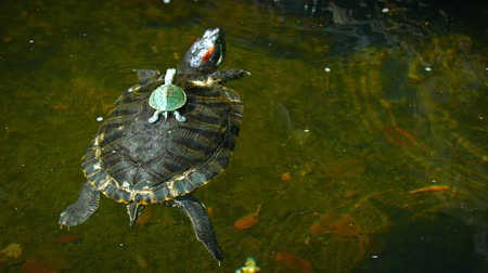 scripta : FullHD video - Baby turtle sits motionless on the center of its mothers shell as she floats and drifts on the surface of a garden pond. Stock Footage