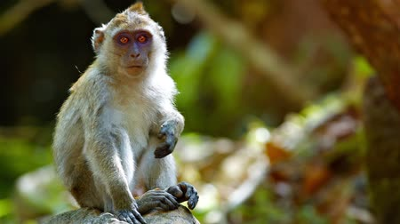 macaca fascicularis : FullHD video - Funny adult monkey. sitting comfortably on a boulder and scratching himself while relaxing in the warm sunshine.