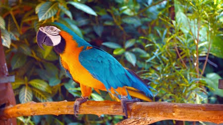 ara papagáj : Video UHD - Solitary blue and gold macaw. with its colorful plumage. shuffling back and forth on his perch at a public bird park.