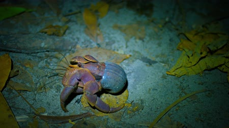 crustáceo : Video UHD - Hermit crab with his borrowed snail shell. crawling over sand. leaves. twigs and debris in the light of a flashlight at night.