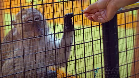 macaca fascicularis : Video UltraHD - Tourist pushing sunflower seeds through the wires of a cage to a mature. long tailed macaque in a zoos interactive exhibit. Stock Footage